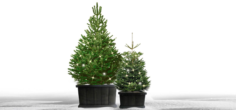 Nordmann kerstboom in kist met verlichting voor buiten bestellen in Haarlem