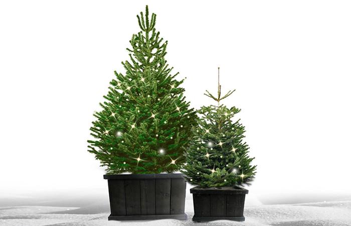 Kerstboom Kopen Baarn.Kerstbomen Haarlem De Mooiste Nordmann Excellent Spar